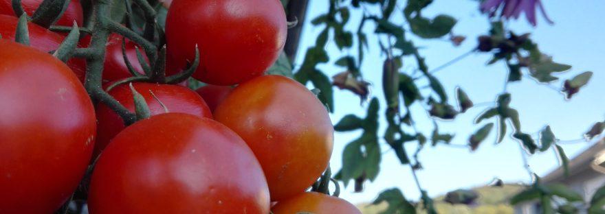 ogv-hain tomaten